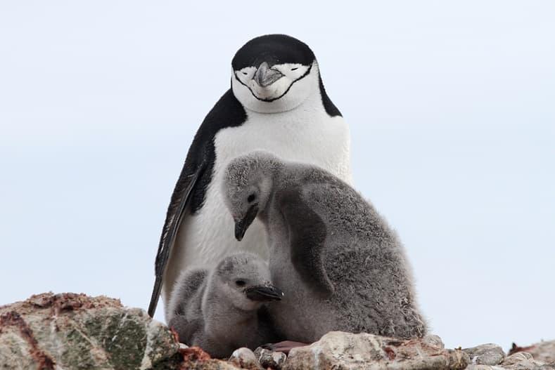 Chinstrap Penguin Nest