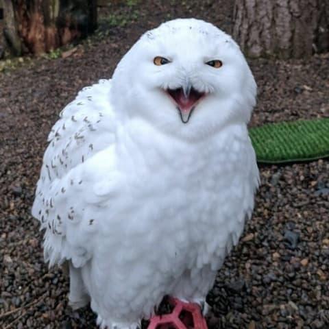Snowy Owl - Archimedes