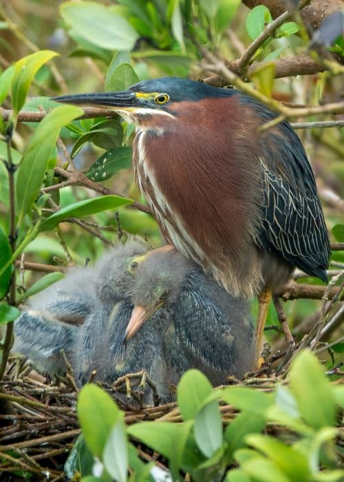 Green Heron with chicks