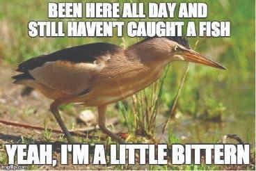 a little bittern