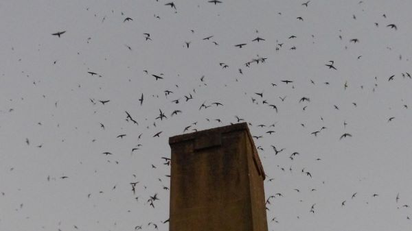 Vaux's Swifts At Agate Hall Chimney
