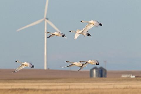Tundra Swans With Wind Turbines