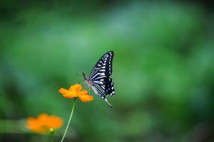 Butterfly-flower-pollinator